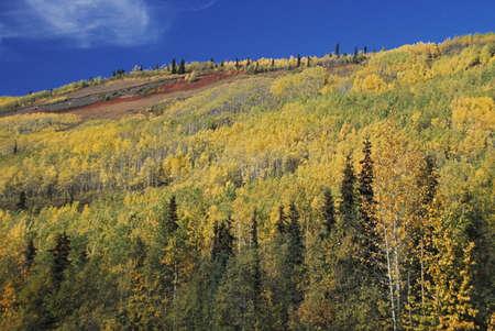 Autumn aspens (Populus tremuloides) on mountain slope Stock Photo - 7210798
