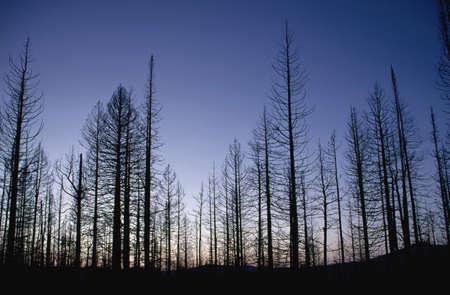 Burned trees at dusk, Yellowstone National Park, Wyoming, USA photo