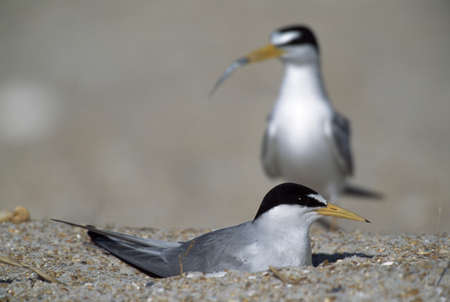 Least tern brings minnow to mate incubating eggs in nest on beach, Florida, USA Stok Fotoğraf