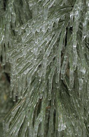 Hard rime ice on ponderosa pine branch and needles