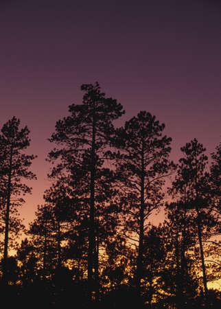 ponderosa pine: Ponderosa pine trees (Pinus ponderosa), Jemez Mountains, New Mexico, USA