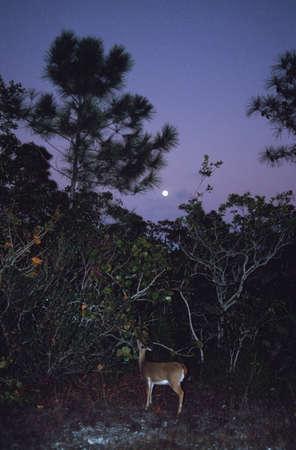 Key deer (Odocoileus virginianus clavium), National Key Deer Refuge, Florida, USA photo