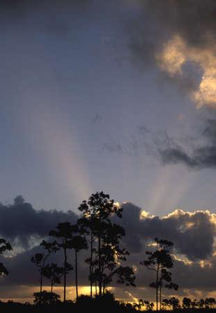 Sunrise behind slash pine trees (Pinus elliottii), Everglades National Park, Florida, USA photo