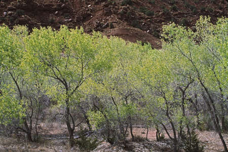 Fremont cottonwoods (Populus fremontii), Jemez River watershed, New Mexico, USA Stock Photo - 7191564