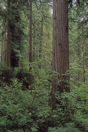 Verdant undergrowth, redwood forest, Prairie Creek Redwoods State Park, California, USA Stock Photo - 7191544