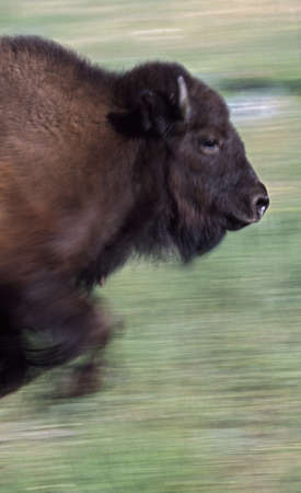 Bison running in meadow 版權商用圖片