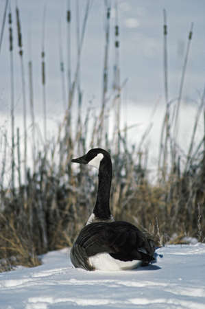 Canada goose resting on snow photo