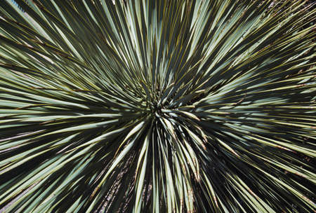 spines: Yucca spines