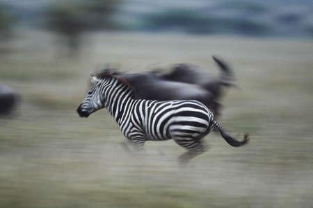 Zebras running across field, Serengeti National Park, Tanzania, Africa Stock Photo