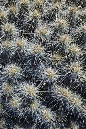 spines: Sharp spines of strawberry cactus