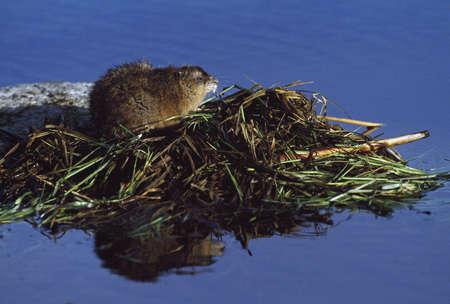 muskrat: Muskrat on top of acquatic hut it has built in a pond Stock Photo