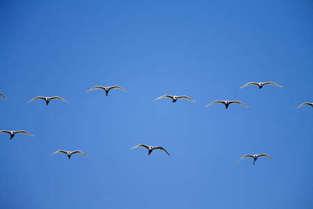 and egrets: Cattle egrets (Bubulcus ibis) flying in open flock