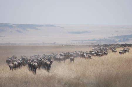 levit: Migrating herd of wildebeest, Masai Mara, Kenya, Africa