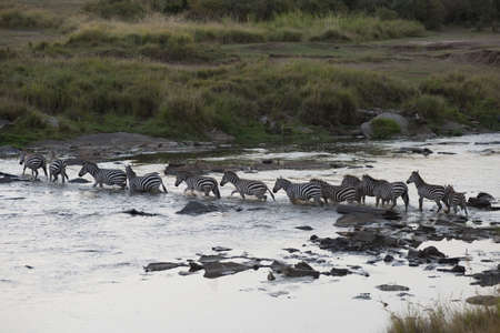 lakeshores: Migrating herd of zebra, Masai Mara, Kenya, Africa