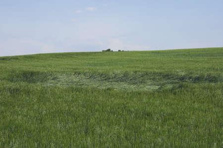 Green wheat field damaged by hail, Alberta, Canada Stock Photo - 7191286
