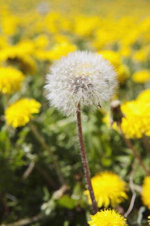 seeding: Close-up of seeding dandelion, Alberta, Canada