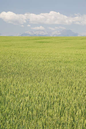 Unripe wheat field, Alberta, Canada Stock Photo - 7191496