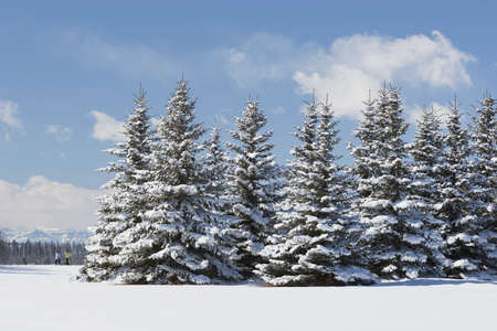 no snow: Snow-covered evergreens with hikers in the distance, Calgary, Alberta, Canada Stock Photo