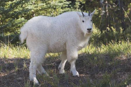 cabra montes: Parque Nacional de Jasper, alberta, Canad�; una cabra de monta�a (oreamnos americanus)