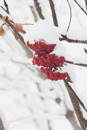 mountain ash: Red mountain ash berries in snow, Calgary, Alberta, Canada