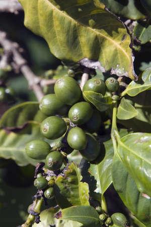 planta de cafe: cafeto (coffea), kauai, hawaii, usa