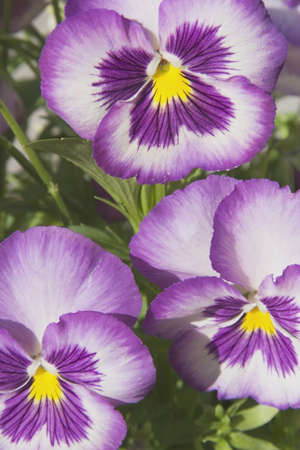 Close up of pansies Stock Photo