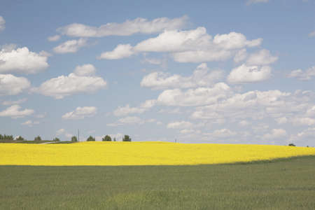 flowering canola and green wheat field, west of high river, alberta, canada Stock Photo - 7190733