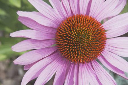 Echinacea flower (Echinacea pallida) Stock Photo