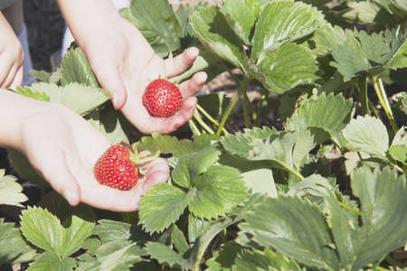 Kids hands holding strawberries photo