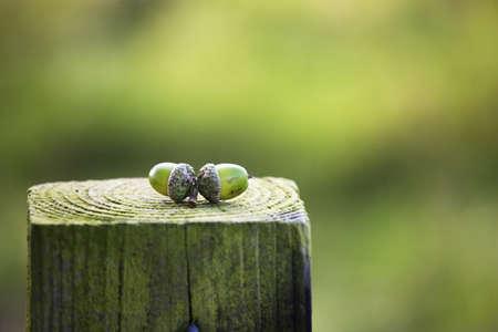 Acorns on a wooden post photo
