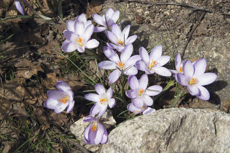 iridaceae: vallée de la restonica, corsica, france; mountain crocus (iridaceae) Stock Photo