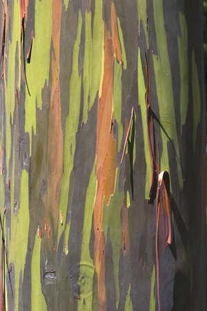 trunk  tree: tronco de �rbol de eucalipto