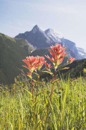 kananaskis country, alberta, canada; indian paintbrush in a mountain meadow photo