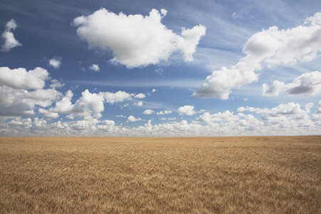 Wheat field and clouds in the sky photo