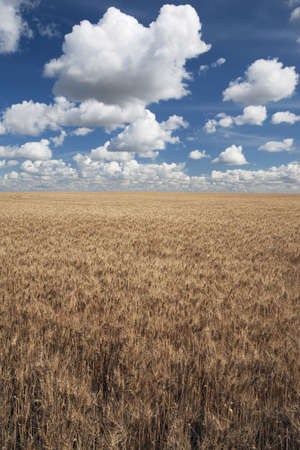 Wheat field and clouds in the sky Stock Photo - 7191508