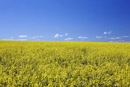 flowering canola, central alberta, canada Stock Photo - 7191556
