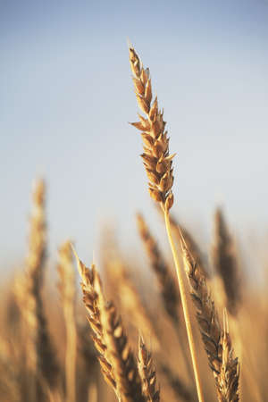 rip wheat, central alberta, canada Stock Photo - 7190405