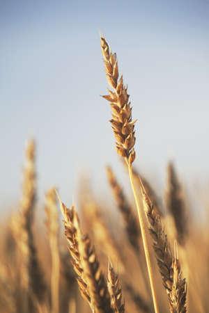 rip wheat, central alberta, canada Stock Photo - 7190405