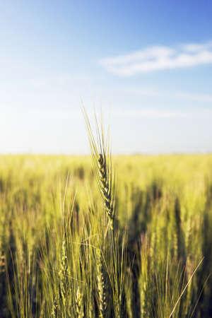green wheat field, central alberta, canada photo