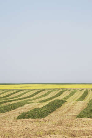 hay cut in a field, central alberta, canada Stock Photo - 7190743