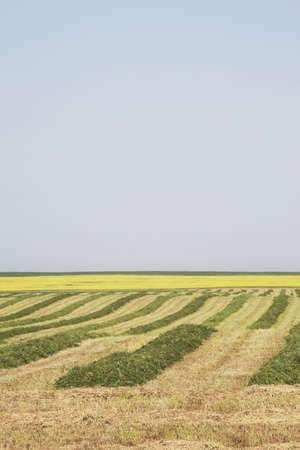 hay cut in a field, central alberta, canada Stock Photo - 7190743