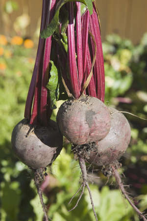 scrumptious: three beets from the garden