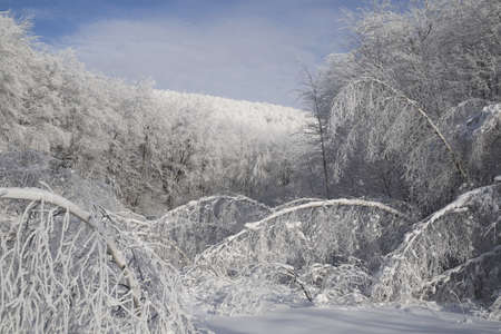 hoar: trees weighted down by snow