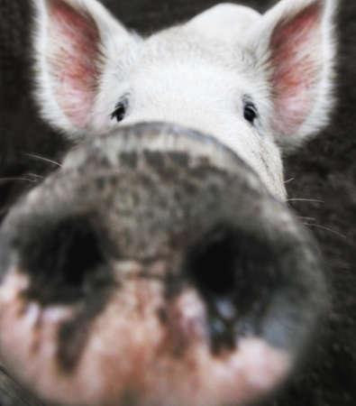 Nahaufnahme des ein Schwein Nase  Standard-Bild - 7191704