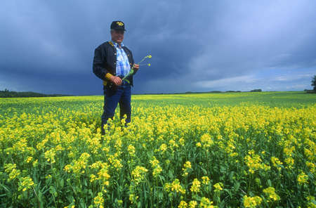 canola plant: Farmer inspecting the crop