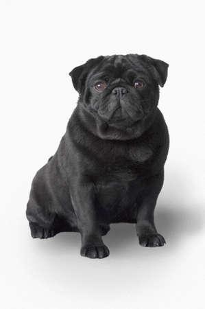 obey: Perro pug  Foto de archivo