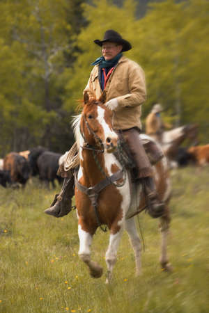 cowboy on horse: Cowboy on cattle round up in Southern Alberta Canada Stock Photo