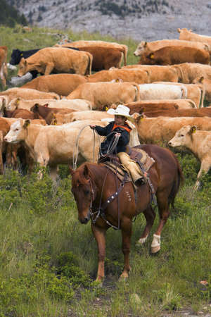 Young cowboy helping with the round up Southern Alberta Canada Stock Photo