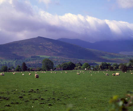 Sheep grazing near Irelands MacGillicuddys Reek Mountains photo