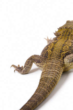 posterior: Bearded Dragon lizard posterior